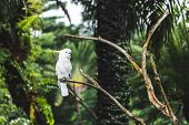 White Yellow-crested Cockatoo Cacatua Sulphurea Sitting On A Branch. Parrot Also Known As The Lesser poster