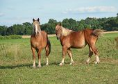 picture of workhorses  - Two Belgian workhorse mares in a grassy green pasture with a blue sky and few clouds.