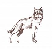 Wolf Hand Drawn With Contour Lines On White Background. Gorgeous Realistic Sketch Drawing Of Forest  poster