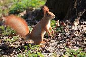 Furry Squirrel Is Standing On Two Hind Legs In The Spring City Park poster
