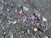 Pink Starfish On Stony Beach In Alaska poster