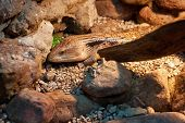 Indonesian Blue-tongued Skink (tiliqua Gigas) Among The Stones. poster