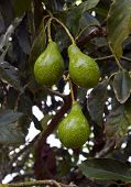 stock photo of avocado tree  - closeup of three avocados in a tree - JPG