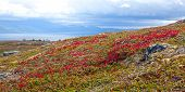 pic of bearberry  - Mountain Bear - JPG