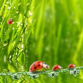 Fresh morning dew on a spring grass and little ladybug, natural background - close up with shallow D