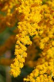 image of goldenrod  - A macro image of yellow autumn goldenrods - JPG