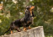 stock photo of wieners  - Portrait of dog breed long haired dachshund - JPG