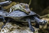 stock photo of tortoise  - Nice couple - JPG