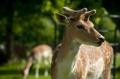 Close Up Fallow Deer Head