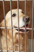 stock photo of veterinary surgery  - Golden Retriever Dog In Cage At Veterinary Surgery - JPG