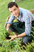 Man in vegetable garden planting aromatic herbs