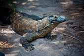 picture of giant lizard  - komodo dragon in nature, Indonesia^ Bali island