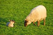 pic of spring lambs  - New spring lambs on the in green pastures on a sheep ranch in Oregon