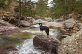 picture of naturel  - Border Collie Dog standing on a larger boulder over the clear mountain waters of the Tartgine river in the Tartagine forest near Mausoleo in the Balagne region of Corsica with ancient Genoese bridge in background