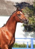 foto of colt  - portrait of beautiful bay arabian colt. sunny