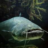 Underwater photo of The Catfish (Silurus Glanis). Biggest predatory fish in European lakes and river