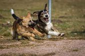 stock photo of mongrel dog  - Two dogs wild game on a dog park which is a a German Shepherd puppy the other a terrier  - JPG