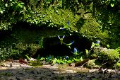 image of parakeet  - Parakeets in a clay licking cave - JPG