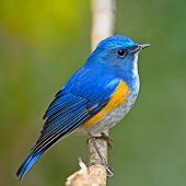 image of christmas song  - Closeup of blue bird male Himalayan Bluetail  - JPG