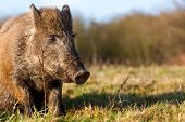 stock photo of boar  - an wild boar stay in nature next to a forest - JPG