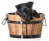 foto of scottie dog  - scottish terrier puppy in a wash basin isolated on white background - JPG