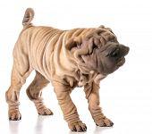 foto of shar pei  - dog shaking  - JPG