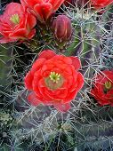 picture of xeriscape  - claret cup in vivid bloom - JPG