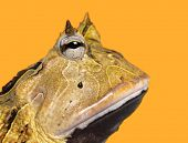 image of pacman frog  - Close - JPG