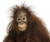 stock photo of orangutan  - Young Bornean orangutan looking at the camera - JPG