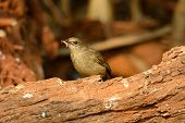 stock photo of bulbul  - beautiful Streak - JPG
