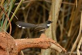 foto of fantail  - beautiful Pied Fantail  - JPG