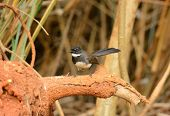 stock photo of fantail  - beautiful Pied Fantail  - JPG