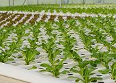 picture of romaine lettuce  - Romaine Lettuce Vegetables Plantation In Hydroponic System