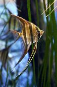 picture of angelfish  - Altum Angelfish Swimming in its natural habitat