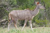 image of greater  - Greater Kudu cow in the Marakele National Park of South Africa - JPG