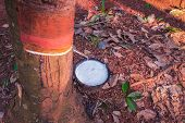picture of afforestation  - milk of rubber tree flows into a bowl - JPG