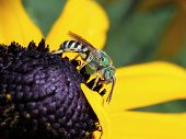 image of black-eyed susans  - A Metallic Green Bee on a Black - JPG