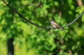 image of fantail  - A single Pied Fantail holding on the curve stick in the forest of Thailand - JPG