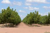 stock photo of walnut-tree  - young walnut trees in rows in a rural paddock - JPG