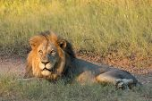 stock photo of african lion  - Male African Lion  - JPG