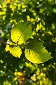 stock photo of hazelnut tree  - beautiful leaves of a hazlenut tree in detail - JPG
