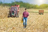foto of harvest  - Young farmer walking on corn field with corncobs in hands during harvest - JPG