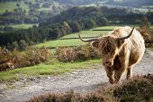 stock photo of moo-cow  - A highland cow at Baslow Edge in the Peak District - JPG