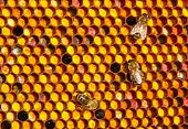 stock photo of unicity  - Farine collected by bees placed by them in honeycombs. All of it is a meal for young bees