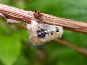 picture of cocoon  - A close-up view of an insect cocoon on a twig. ** Note: Soft Focus at 100%, best at smaller sizes - JPG