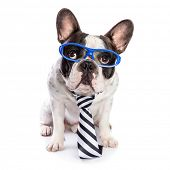 pic of bulldog  - French bulldog in blue glasses and tie isolated on white - JPG