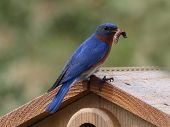stock photo of bluebird  - Photo of a male bluebird - JPG