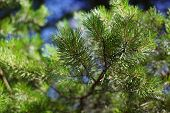 stock photo of pine-needle  - Pine branch with needles closeup in sunny day