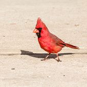 pic of cardinal-bird  - Male Cardinal perched on concrete patio with shadow - JPG