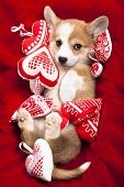 picture of corgi  -  corgi puppy - JPG